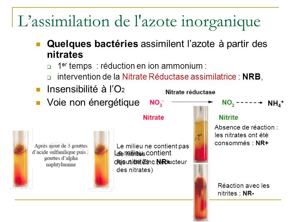 Lassimilation de l azote inorganique Quelques bactéries assimilent lazote à partir des nitrates 1 er temps : réduction en ion ammonium : intervention de la Nitrate Réductase assimilatrice : NRB, Insensibilité à lO 2 Voie non énergétique Le milieu contient des nitrites : NR+ NH 4 + Le milieu ne contient pas de nitrites Ajout de Zinc (réducteur des nitrates) Absence de réaction : les nitrates ont été consommés : NR+ Réaction avec les nitrites : NR-