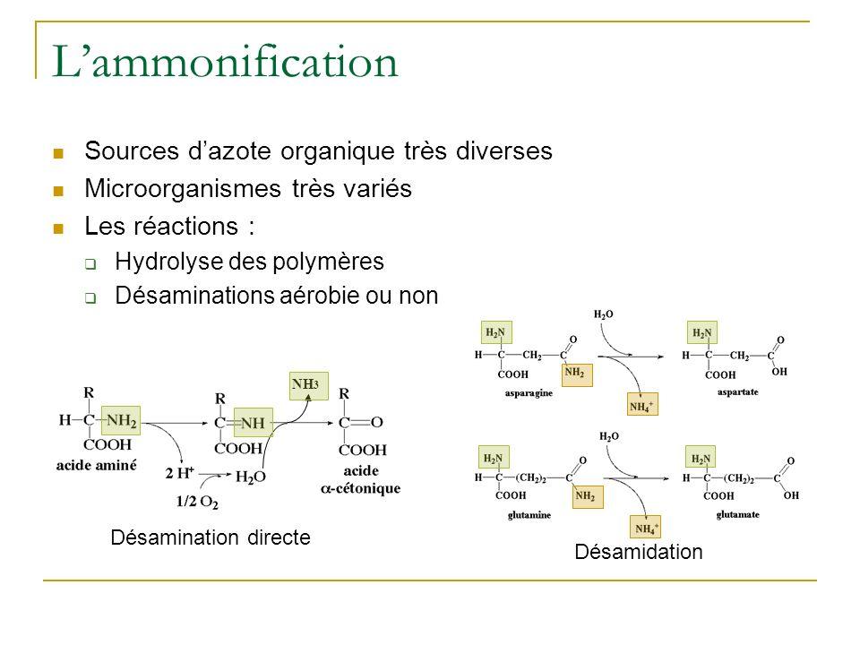 Lammonification Sources dazote organique très diverses Microorganismes très variés Les réactions : Hydrolyse des polymères Désaminations aérobie ou non Désamination directe Désamidation NH 3