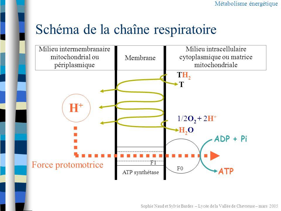 Sophie Naud et Sylvie Bardes – Lycée de la Vallée de Chevreuse – mars 2005 Les chimioorganotrophes : La respiration aérobie Métabolisme énergétique Réducteur2Oxydant 2 O 2 T ATP Réducteur1 XH 2 Oxydant1 X TH2TH2 T : coenzyme oxydé H 2 O, (H 2 O 2 ) Glucose (C 6 H 12 O 6 ) CO 2 Chaînes respiratoires membrane cytoplasmique glycolyse+cycle de Krebs