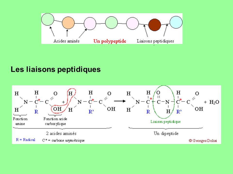 -------------- -------------- Les liaisons peptidiques