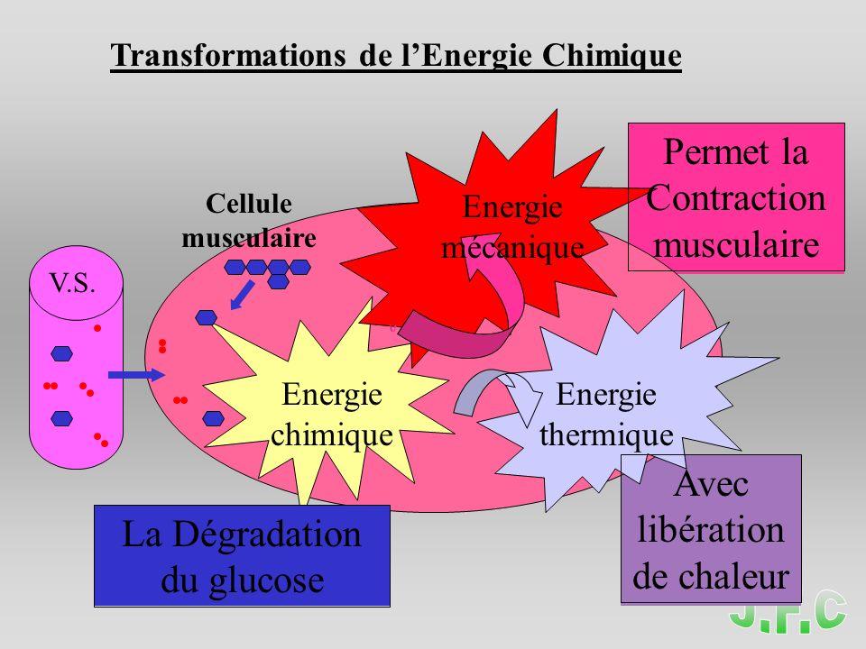 Transformations de lEnergie Chimique Energie chimique Energie mécanique Energie thermique Permet la Contraction musculaire La Dégradation du glucose A