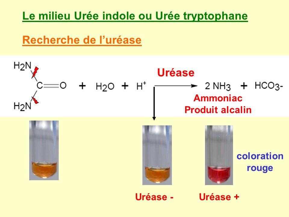 Le milieu Urée indole ou Urée tryptophane Recherche de luréase Ammoniac Produit alcalin coloration rouge Uréase Uréase -Uréase +