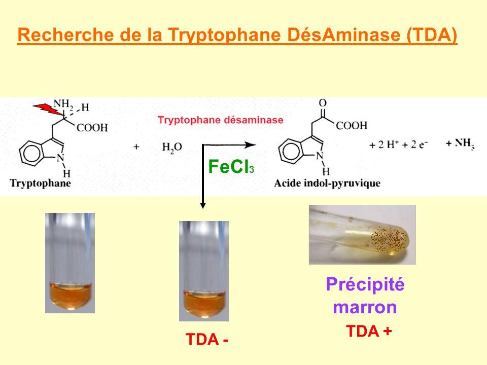 Recherche de la Tryptophane DésAminase (TDA) Précipité marron FeCl 3 TDA + TDA -