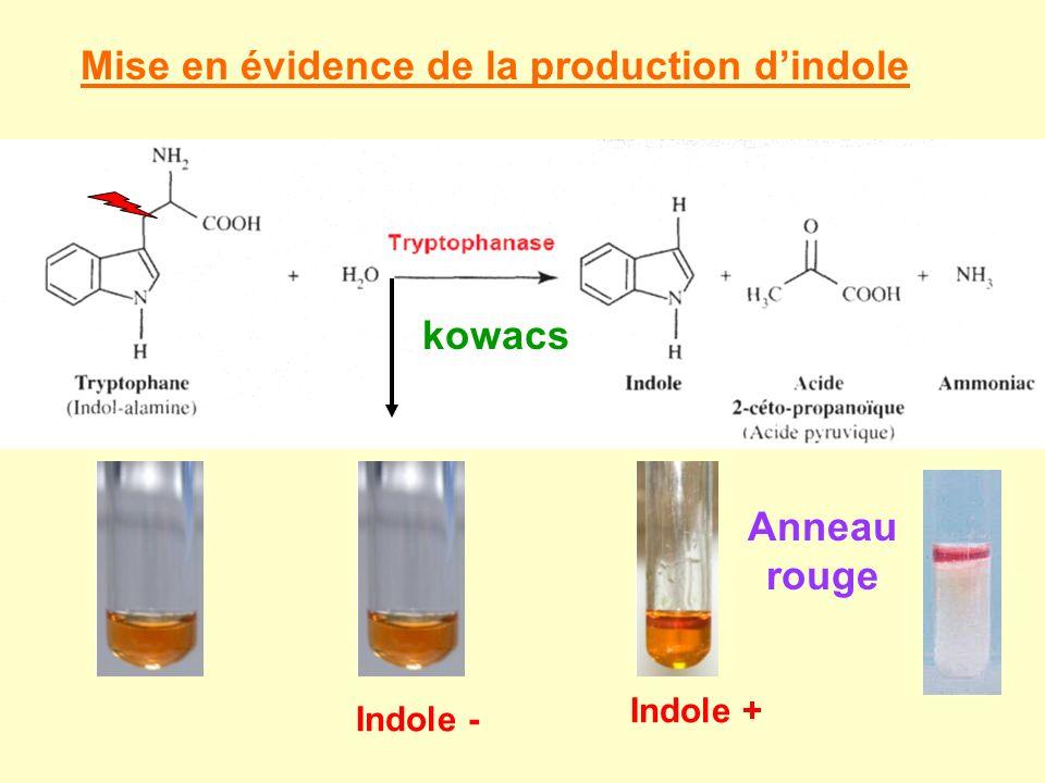 Mise en évidence de la production dindole Anneau rouge kowacs Indole - Indole +
