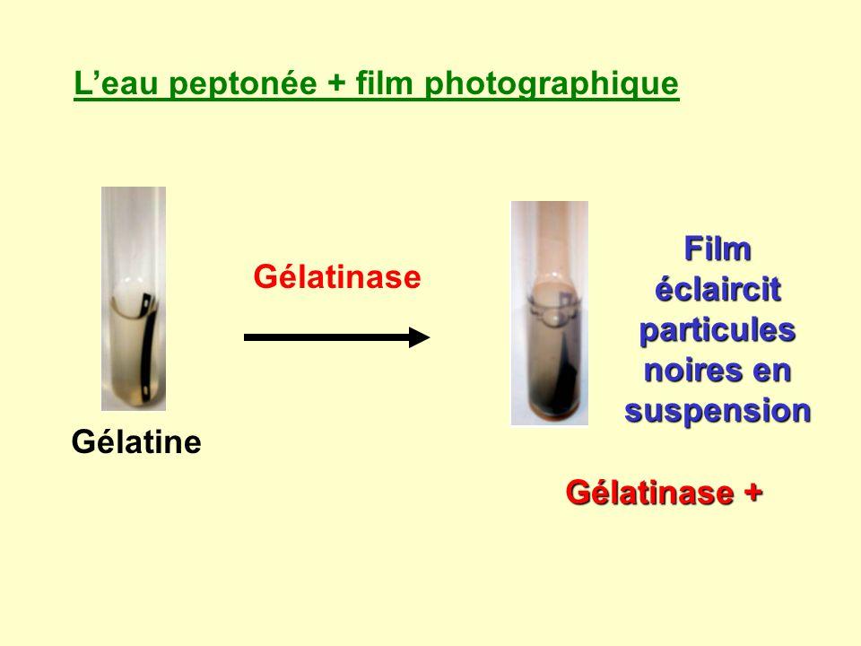 Leau peptonée + film photographique Gélatine Gélatinase Film éclaircit particules noires en suspension Gélatinase +