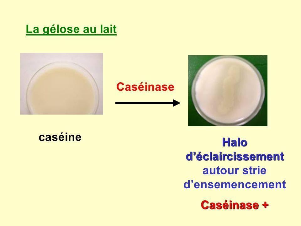 La gélose au lait caséine Caséinase Halo déclaircissement Halo déclaircissement autour strie densemencement Caséinase +