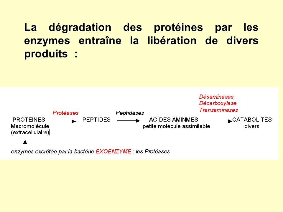 La dégradation des protéines par les enzymes entraîne la libération de divers produits :