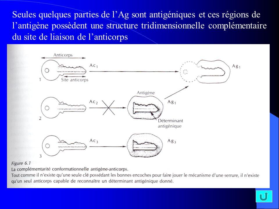 Seules quelques parties de lAg sont antigéniques et ces régions de lantigène possèdent une structure tridimensionnelle complémentaire du site de liais