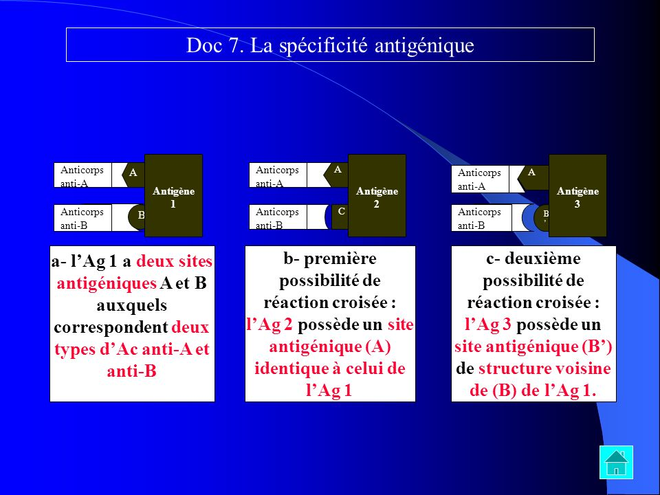 A A B Antigène 1 Anticorps anti-A Anticorps anti-B a- lAg 1 a deux sites antigéniques A et B auxquels correspondent deux types dAc anti-A et anti-B b-
