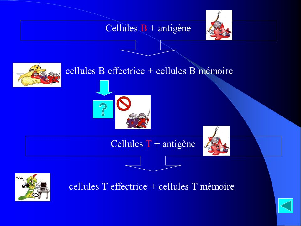 Cellules B + antigène cellules B effectrice + cellules B mémoire Cellules T + antigène cellules T effectrice + cellules T mémoire
