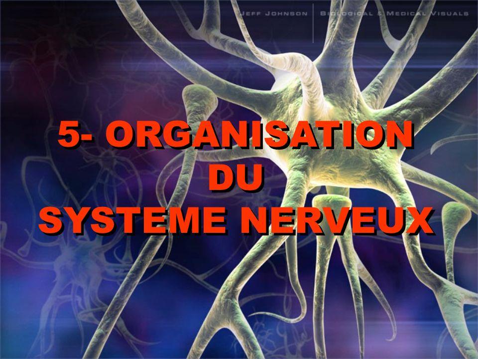 Programme les élèves doivent être capable de : -situer sur un schéma fourni les principales partie du système nerveux cérébro-spinal: encéphale (hémisphères cérébraux, cervelet, bulbe rachidien), moelle épinière, ainsi que les enveloppes membraneuses (méninges) -repérer les nerfs crâniens et les nerfs rachidiens -expliciter les notions de centre, de voies sensitive et de voie effectrice.