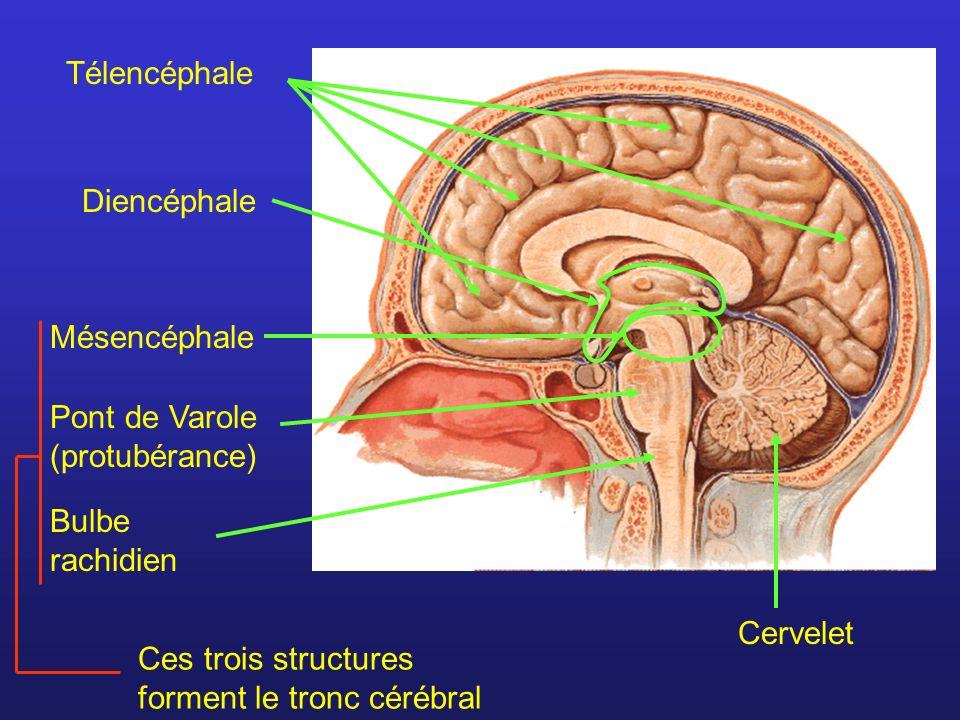 Télencéphale Mésencéphale Pont de Varole (protubérance) Bulbe rachidien Ces trois structures forment le tronc cérébral CerveletDiencéphale