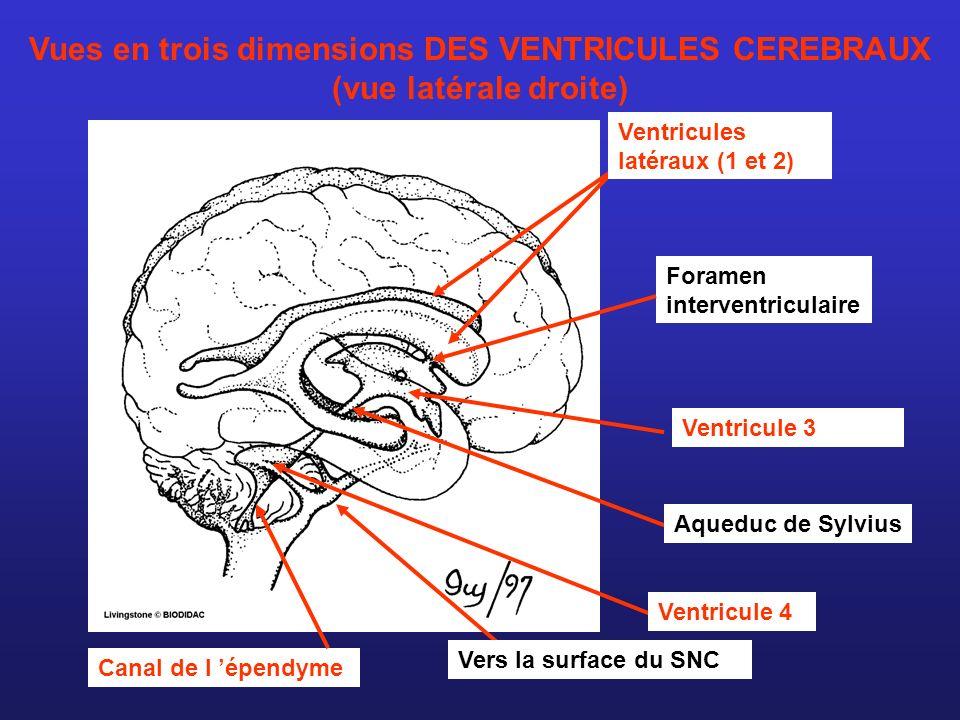 Ventricules latéraux (1 et 2) Ventricule 4 Aqueduc de Sylvius Canal de l épendyme Ventricule 3 Foramen interventriculaire Vers la surface du SNC Vues