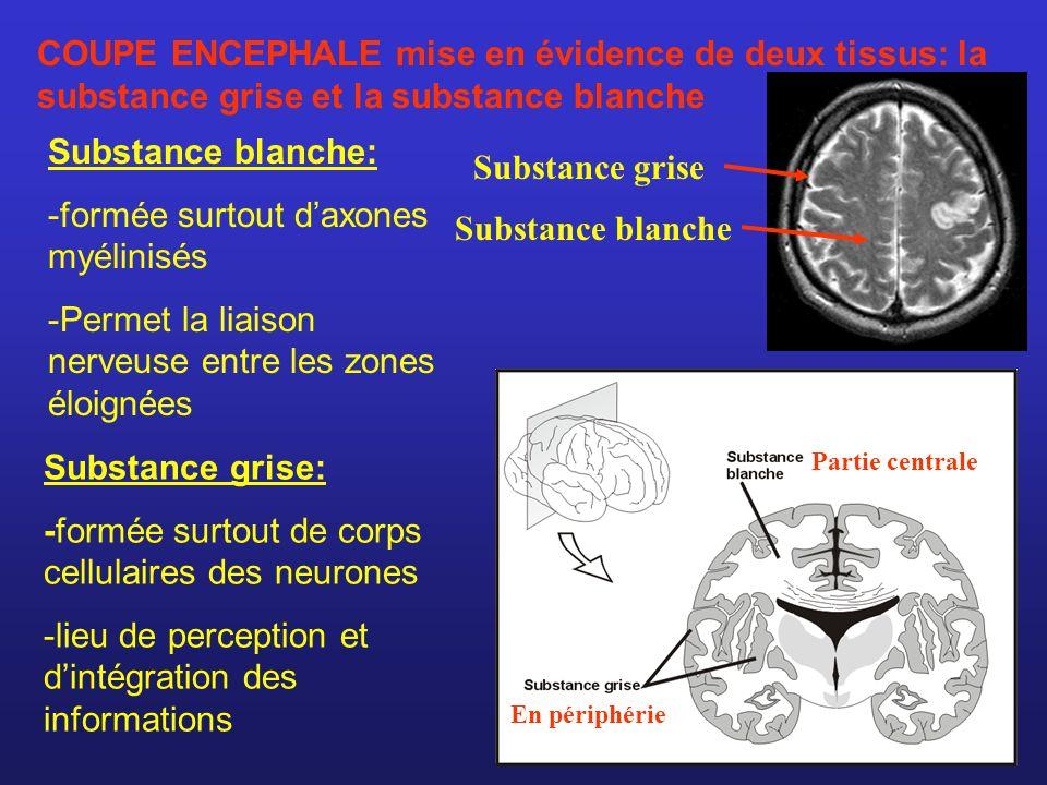 Substance grise Substance blanche Substance blanche: -formée surtout daxones myélinisés -Permet la liaison nerveuse entre les zones éloignées Substanc