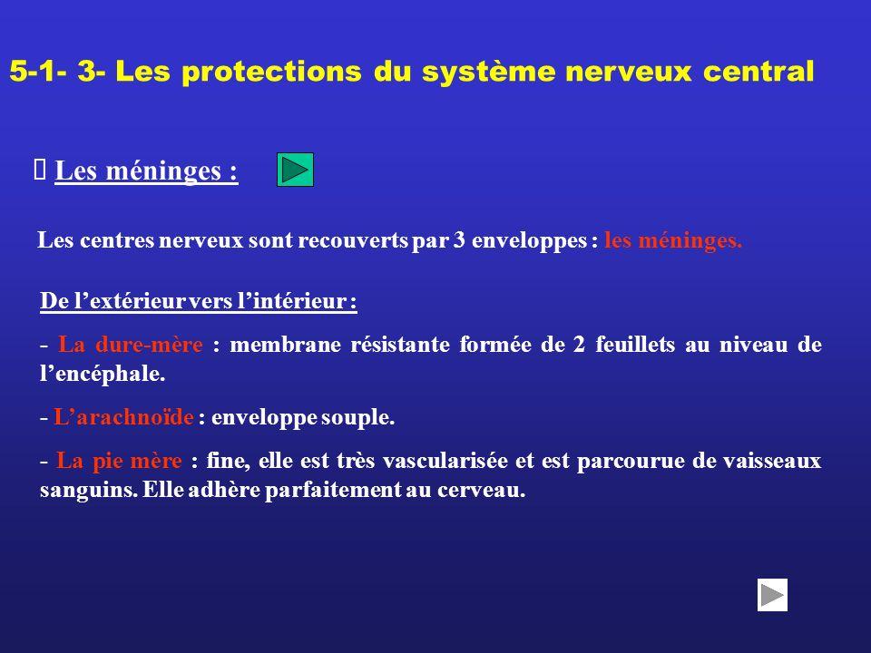 Les méninges : 5-1- 3- Les protections du système nerveux central Les centres nerveux sont recouverts par 3 enveloppes : les méninges. De lextérieur v