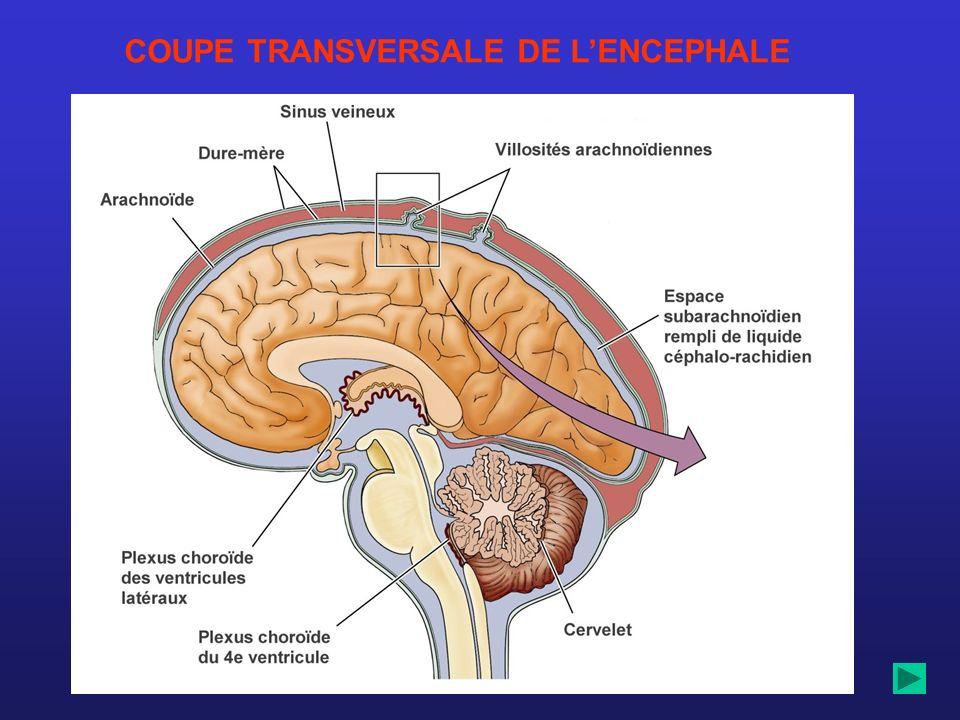 COUPE TRANSVERSALE DE LENCEPHALE