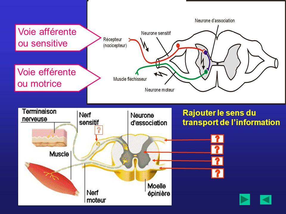 Rajouter le sens du transport de linformation Voie afférente ou sensitive Voie efférente ou motrice
