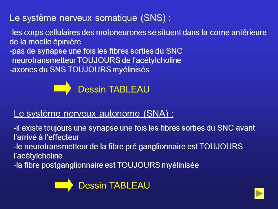 Le système nerveux somatique (SNS) : -les corps cellulaires des motoneurones se situent dans la corne antérieure de la moelle épinière -pas de synapse