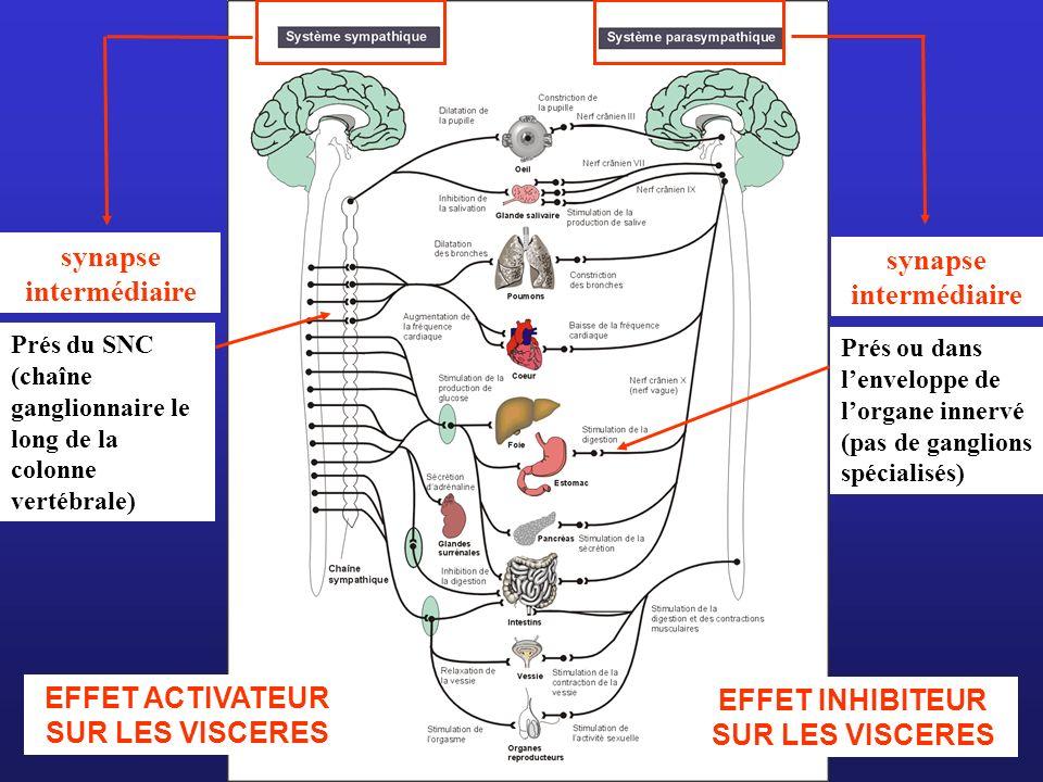EFFET ACTIVATEUR SUR LES VISCERES EFFET INHIBITEUR SUR LES VISCERES synapse intermédiaire Prés du SNC (chaîne ganglionnaire le long de la colonne vert