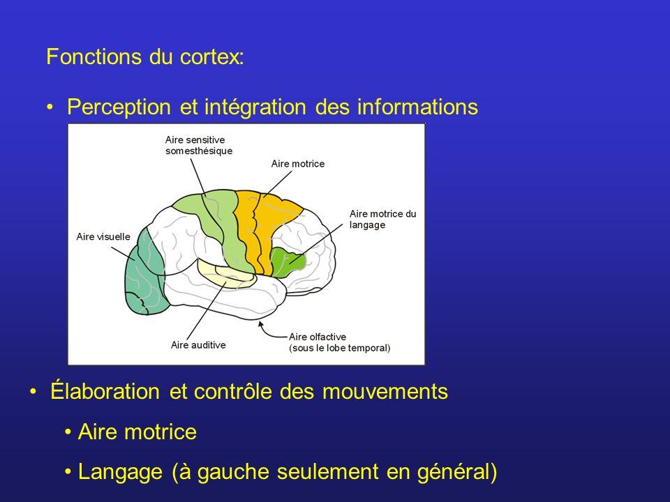 Fonctions du cortex: Perception et intégration des informations Élaboration et contrôle des mouvements Aire motrice Langage (à gauche seulement en gén