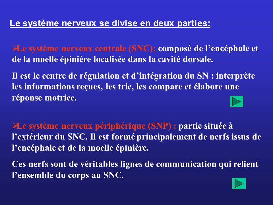 Le système nerveux se divise en deux parties: Le système nerveux centrale (SNC): composé de lencéphale et de la moelle épinière localisée dans la cavi