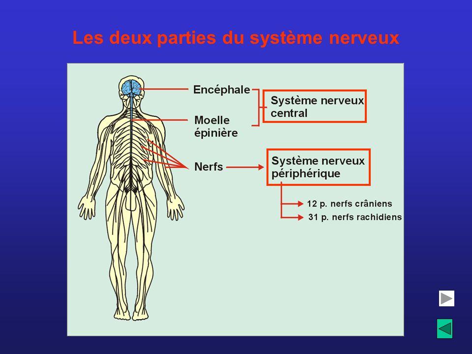 Les deux parties du système nerveux