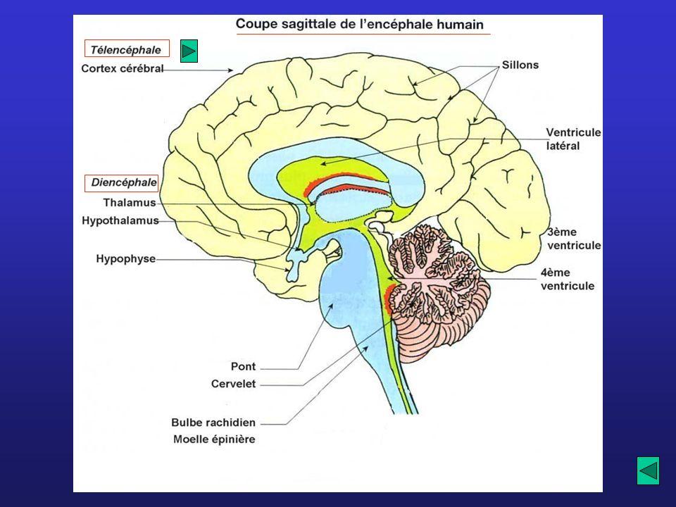 Mémorisation et intégration des informations : aires associatives non spécifiques En blanc: aires non spécifiques Intelligence, créativité, etc.
