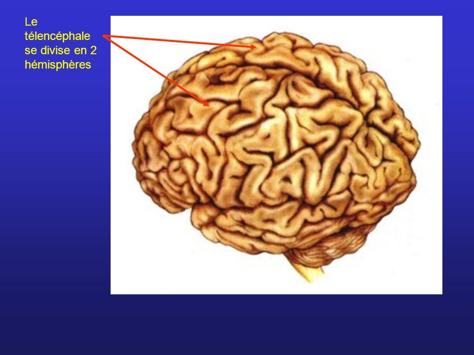 Lobes et fissure des hémisphères cérébraux (vue supérieure)