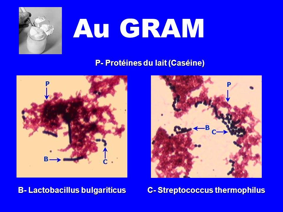 B- Lactobacillus bulgariticus C- Streptococcus thermophilus P- Protéines du lait (Caséine)