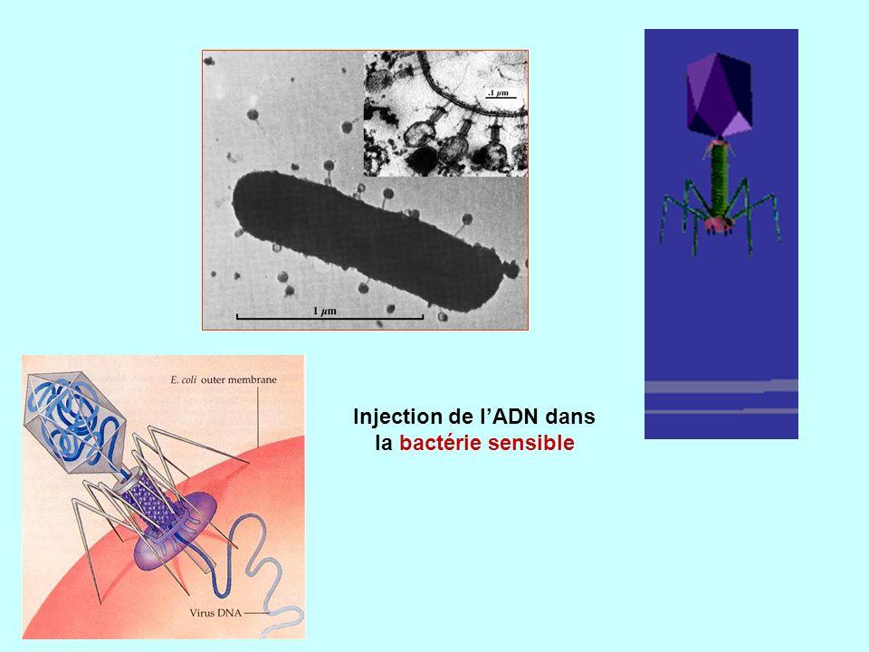 Injection de lADN dans la bactérie sensible