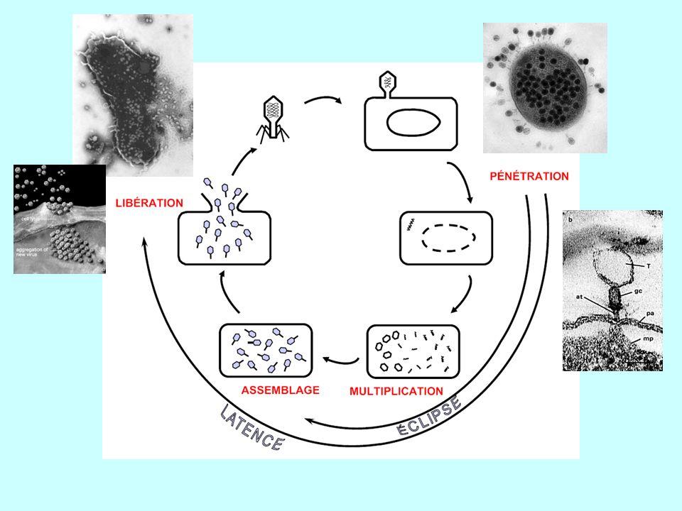 Plage de lyse : région claire sur un tapis bactérien : une bactérie à cet endroit a été infectée par un phage.