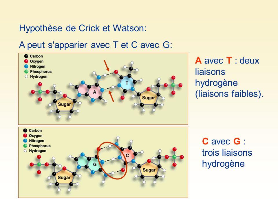 Hypothèse de Crick et Watson: A peut s'apparier avec T et C avec G: A avec T : deux liaisons hydrogène (liaisons faibles). C avec G : trois liaisons h