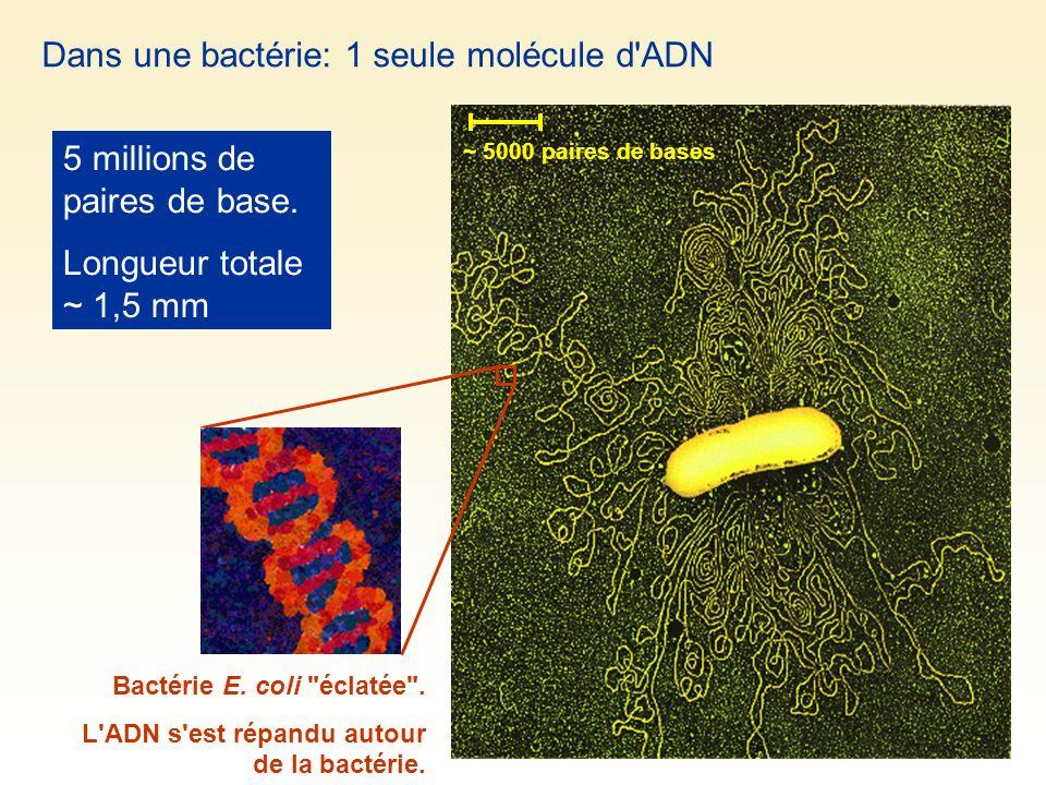 Dans une bactérie: 1 seule molécule d'ADN 5 millions de paires de base. Longueur totale ~ 1,5 mm Bactérie E. coli
