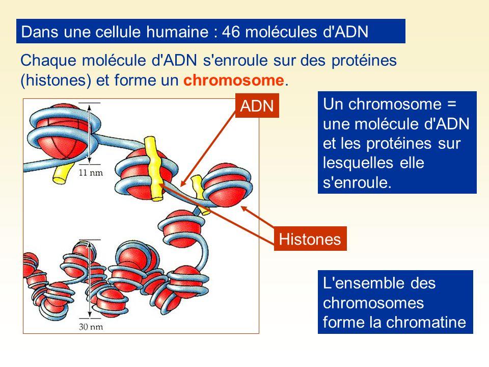 Dans une cellule humaine : 46 molécules d'ADN Chaque molécule d'ADN s'enroule sur des protéines (histones) et forme un chromosome. ADN Histones L'ense