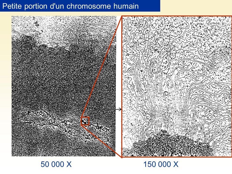 50 000 X150 000 X Petite portion d'un chromosome humain