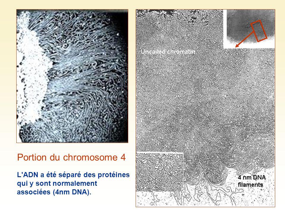 Portion du chromosome 4 L'ADN a été séparé des protéines qui y sont normalement associées (4nm DNA).