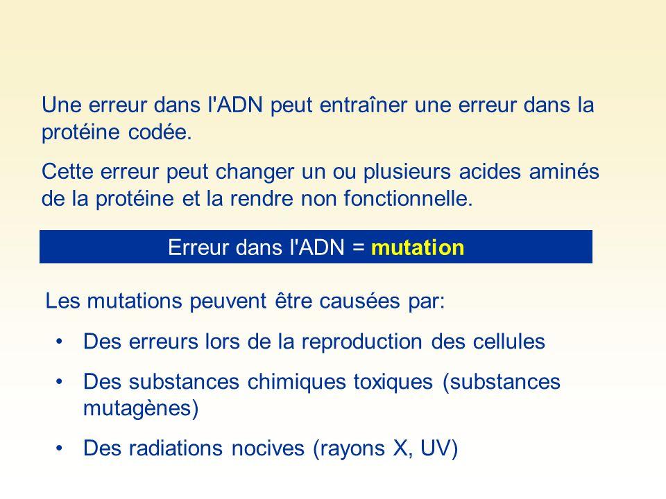 Une erreur dans l'ADN peut entraîner une erreur dans la protéine codée. Cette erreur peut changer un ou plusieurs acides aminés de la protéine et la r