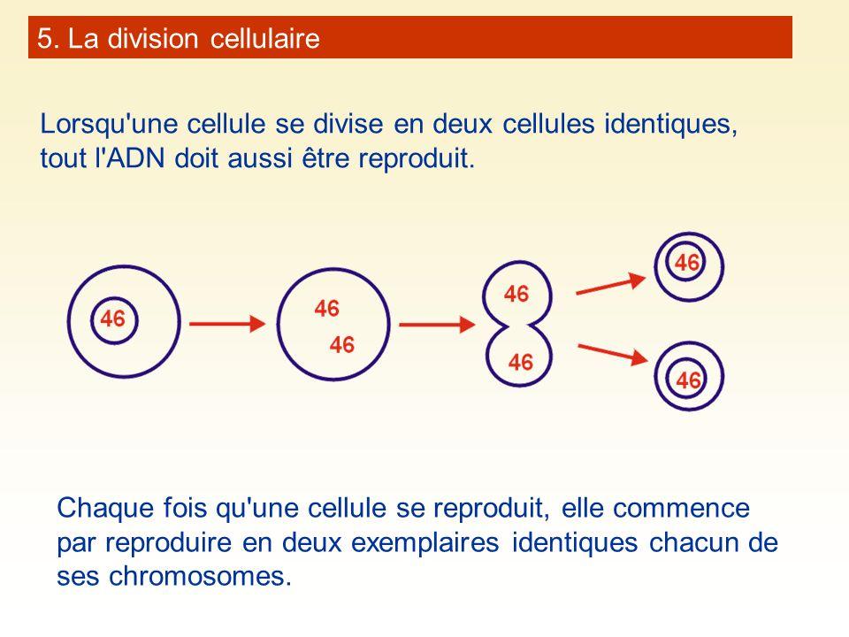 5. La division cellulaire Lorsqu'une cellule se divise en deux cellules identiques, tout l'ADN doit aussi être reproduit. Chaque fois qu'une cellule s