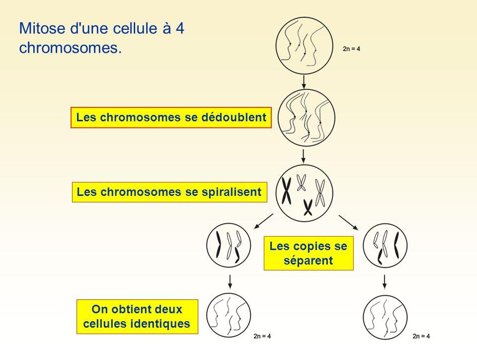 Mitose d'une cellule à 4 chromosomes. Les chromosomes se dédoublent Les chromosomes se spiralisent Les copies se séparent On obtient deux cellules ide