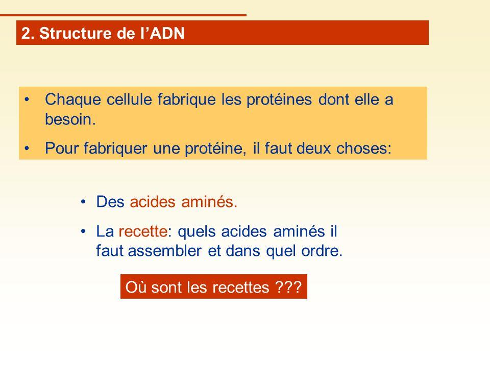 2. Structure de lADN Chaque cellule fabrique les protéines dont elle a besoin. Pour fabriquer une protéine, il faut deux choses: Des acides aminés. La