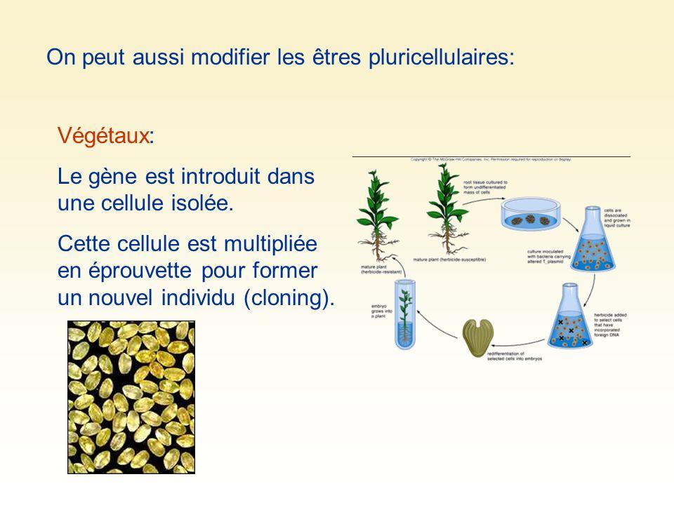 On peut aussi modifier les êtres pluricellulaires: Végétaux: Le gène est introduit dans une cellule isolée. Cette cellule est multipliée en éprouvette