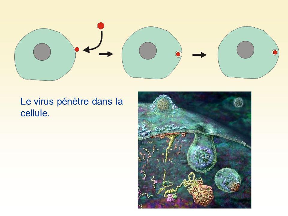 Le virus pénètre dans la cellule.