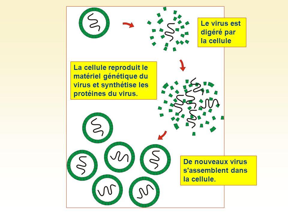 Le virus est digéré par la cellule La cellule reproduit le matériel génétique du virus et synthétise les protéines du virus. De nouveaux virus s'assem