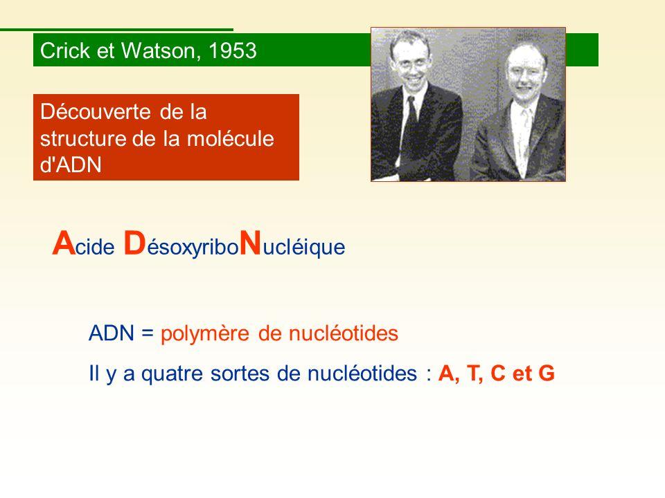Crick et Watson, 1953 Découverte de la structure de la molécule d'ADN ADN = polymère de nucléotides Il y a quatre sortes de nucléotides : A, T, C et G