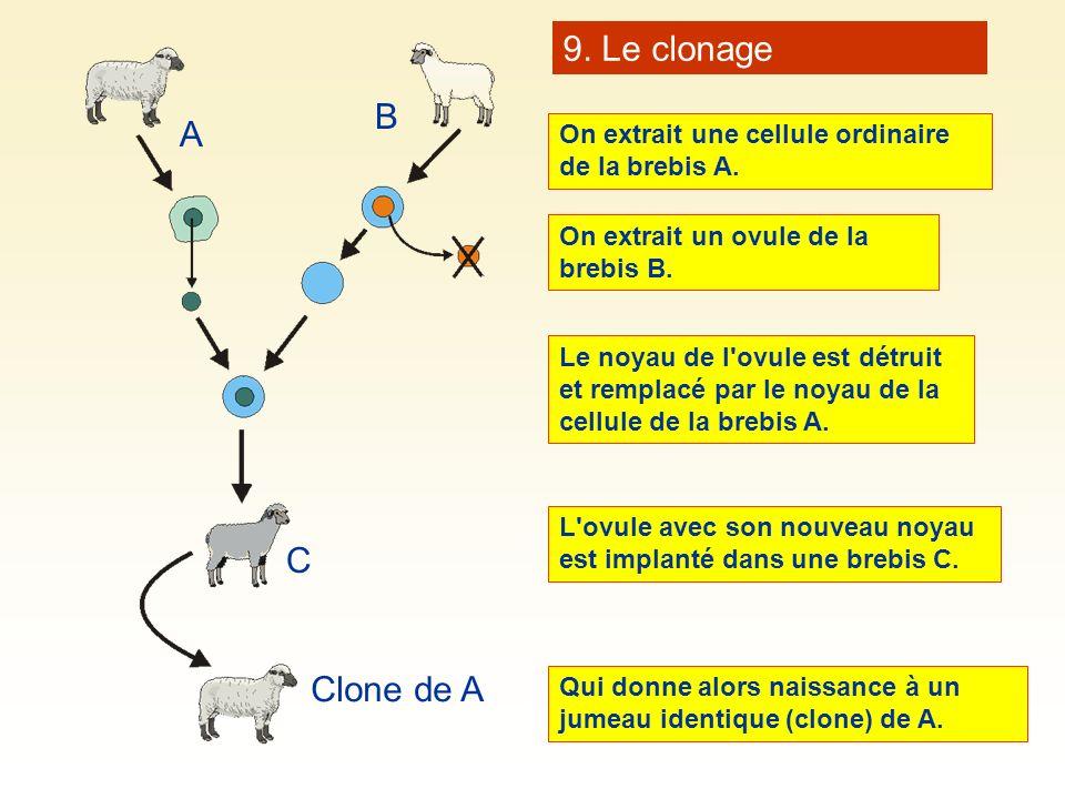 On extrait une cellule ordinaire de la brebis A. A B C Clone de A On extrait un ovule de la brebis B. Le noyau de l'ovule est détruit et remplacé par