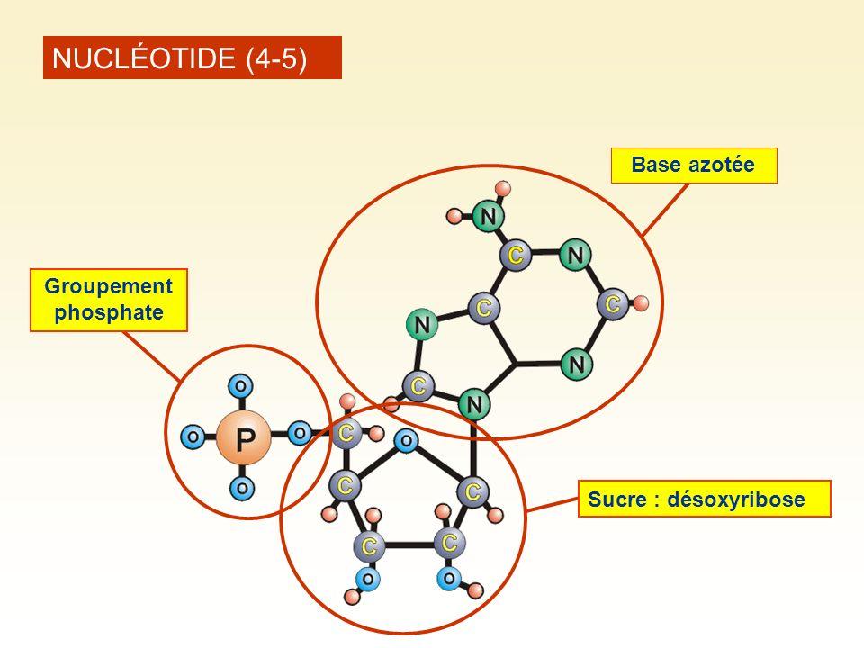 NUCLÉOTIDE (4-5) Base azotée Sucre : désoxyribose Groupement phosphate