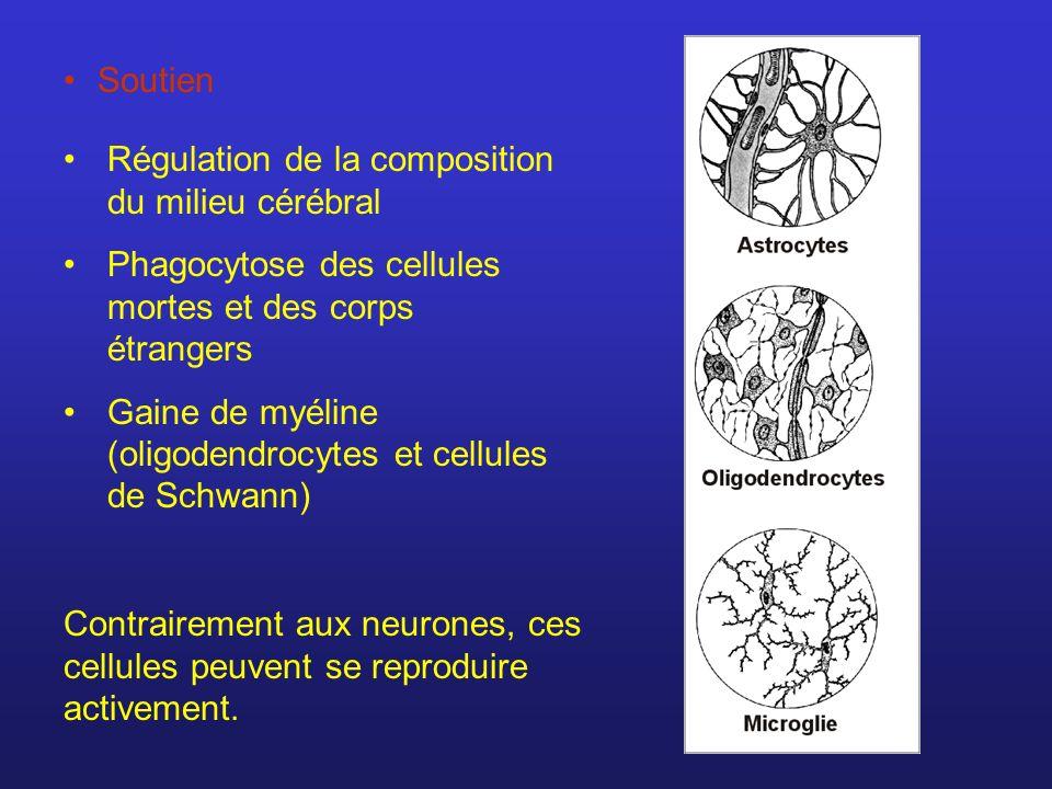 Régulation de la composition du milieu cérébral Phagocytose des cellules mortes et des corps étrangers Gaine de myéline (oligodendrocytes et cellules