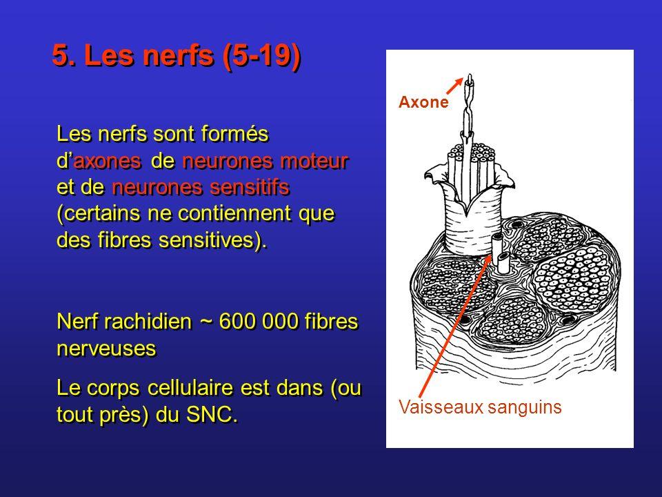 5. Les nerfs (5-19) Les nerfs sont formés daxones de neurones moteur et de neurones sensitifs (certains ne contiennent que des fibres sensitives). Ner