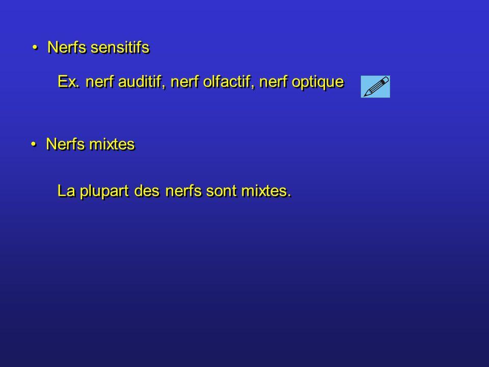 Nerfs sensitifs Nerfs mixtes Ex. nerf auditif, nerf olfactif, nerf optique La plupart des nerfs sont mixtes.