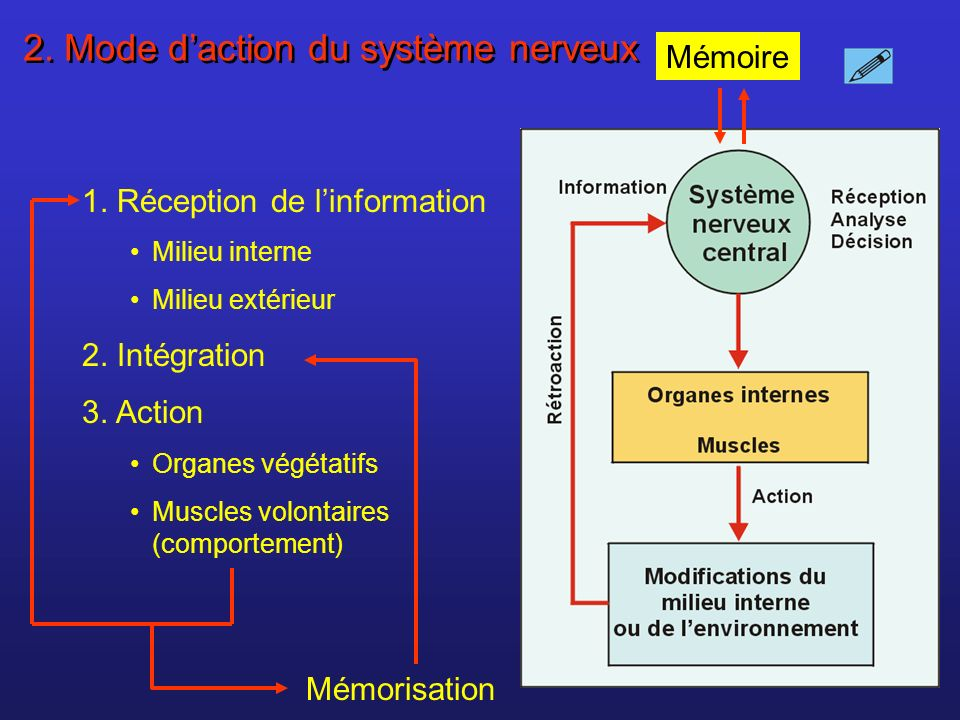 Dépolarisation de la membrane du bouton synaptique Libération par exocytose du neurotransmetteur dans la fente synaptique Le neurotransmetteur se fixe sur son récepteur sur le neurone postsynaptique La fixation du neurotransmetteur provoque louverture de canaux ioniques